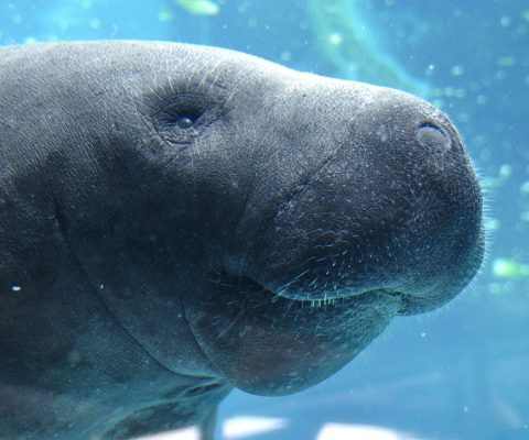 Why You Should Go Manatee Watching on Your Belize Vacation